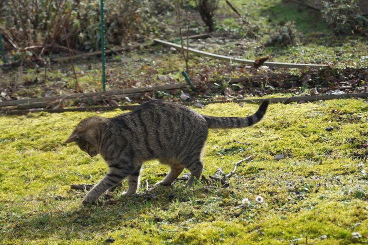 tabby cat playing in the garden, cute, getigerte Katze