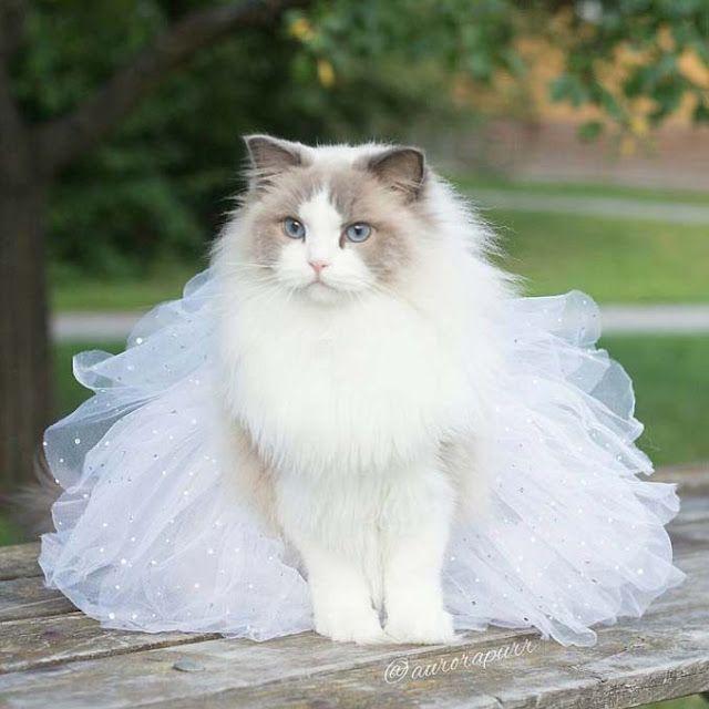 Aurora: Η γάτα πριγκίπισσα με την εκπληκτική φωτογένεια! - Too Cute _ Το καλύτερο site κατοικιδίων στην Ελλάδα.