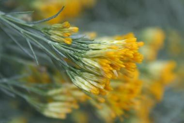 The sagebrush is the state flower of Nevada.