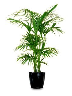 Best 25+ Large indoor plants ideas on Pinterest | Plants for ...