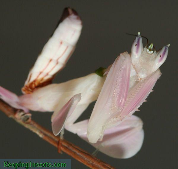 Orchid Mantis, or Hymenopus coronatus