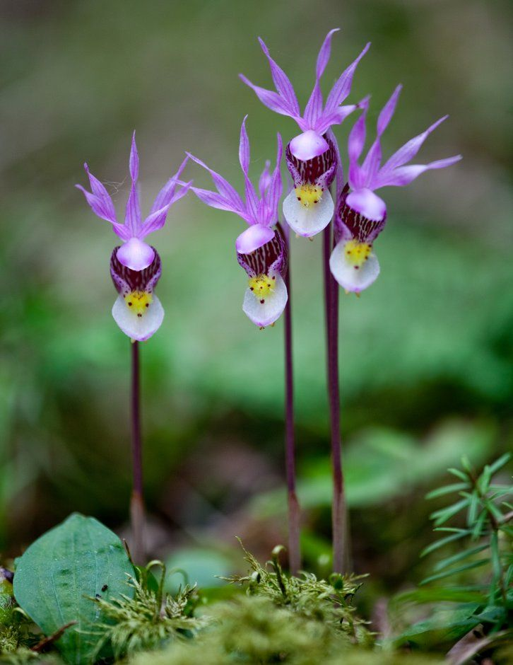 beauty-rendezvous:  Calypso Orchids by Joe Fierst