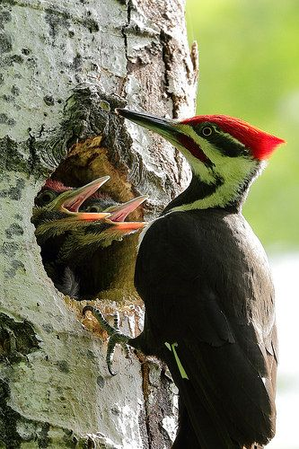 Pileated Woodpecker Male And Nestlings Por Rossv Taylor