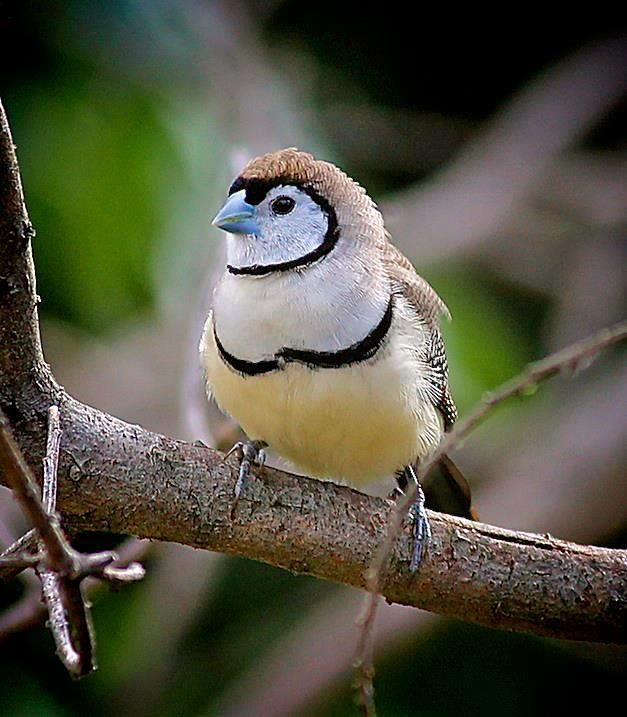 DOUBLE BARRED FINCH common resident lives east-north Australia By Dougald Powell