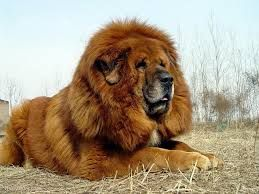 The Tibetan Mastiff.  I love my lions and I think this will be as close as I get to owning one a real one! Though I think I'll need cement 8ft walls to keep him in my yard.