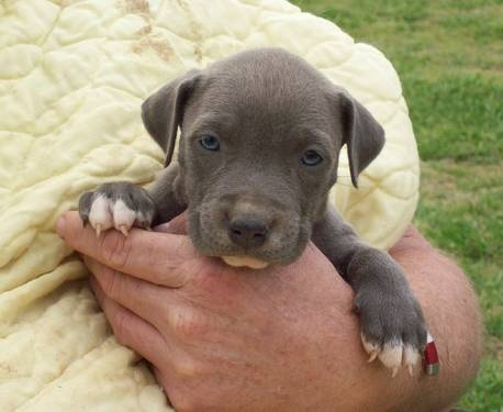 17 best images about pitbulls gorgeous dogs love em on pinterest bully sticks pit bull and. Black Bedroom Furniture Sets. Home Design Ideas