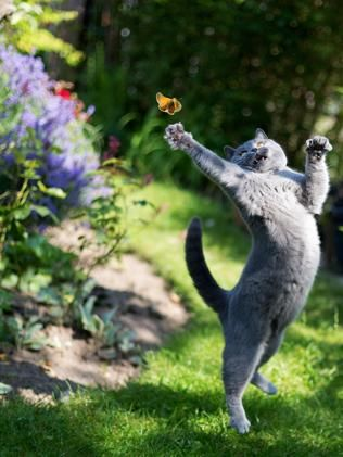 DESPITE her best efforts, Misha the blue British blue shorthair missed this butterfly - by a whisker. Australian cricketer potential she could replace Warner imagine what she could do with a bat