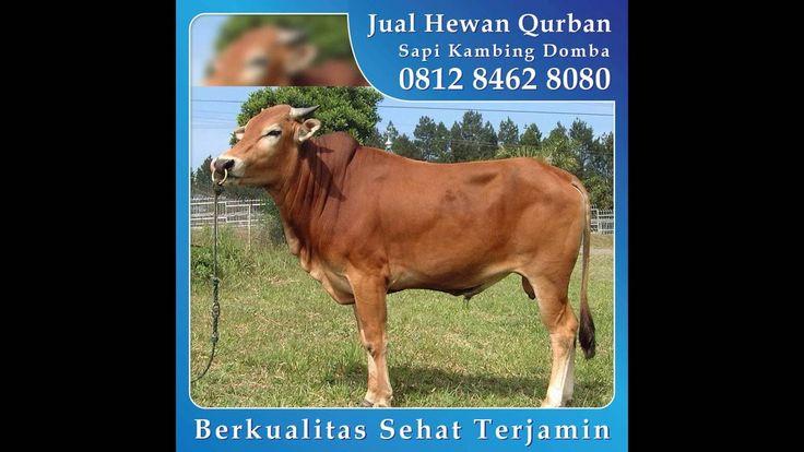 0812 8462 8080 (Tsel), Jual Kambing Qurban di Citra Indah Cileungsi Kota Wisata CIbubur