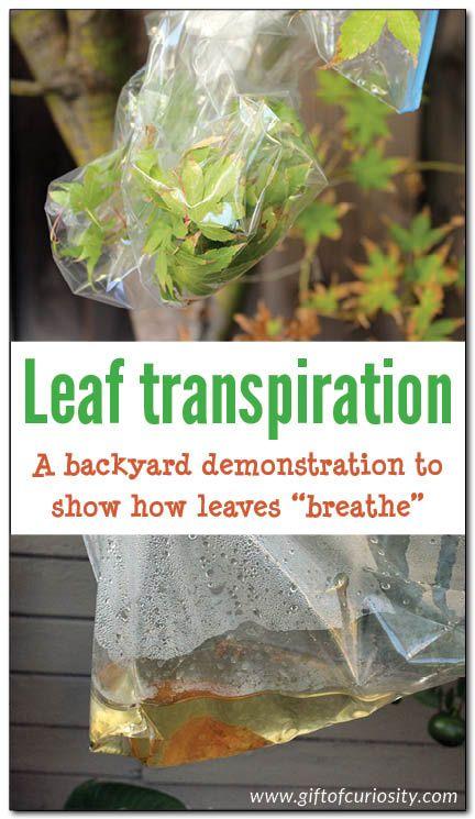 "How leaves ""breathe"": a backyard demonstration of leaf transpiration - Gift of Curiosity"
