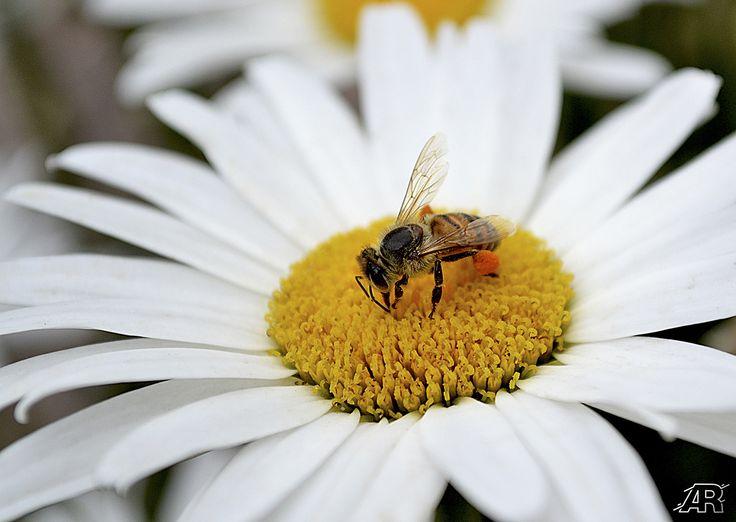 Bee - Macro