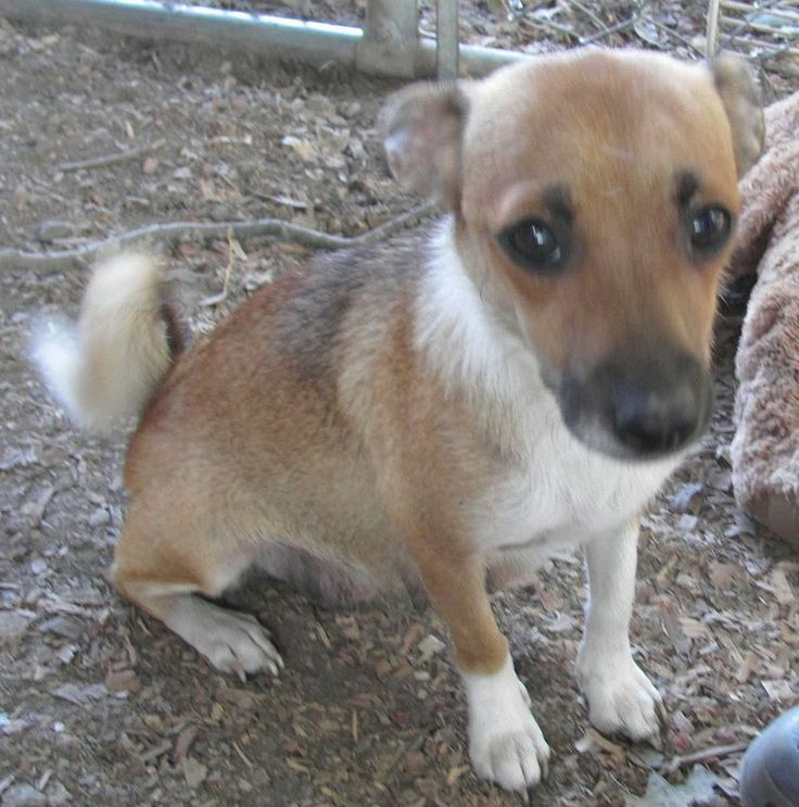Autumn | Chihuahua & Terrier Mix • Adult • Female • Small | Animal Rescue Foundation Beacon, NY