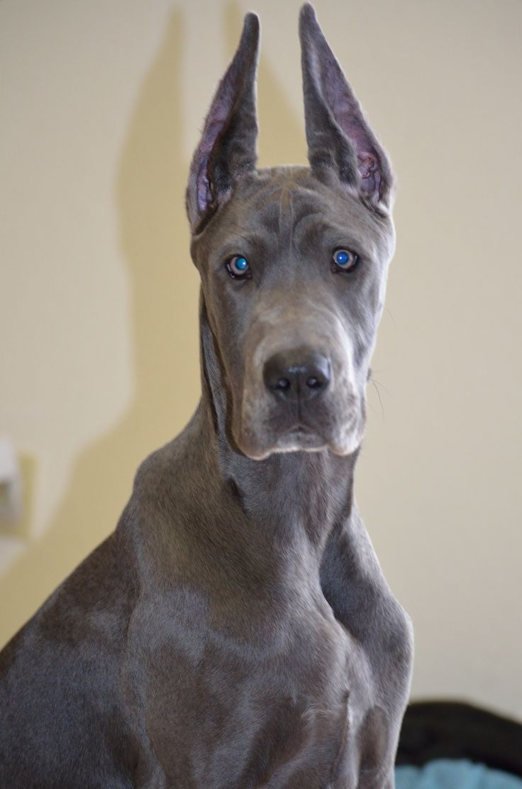 12 Best Great Danes Images On Pinterest Great Danes