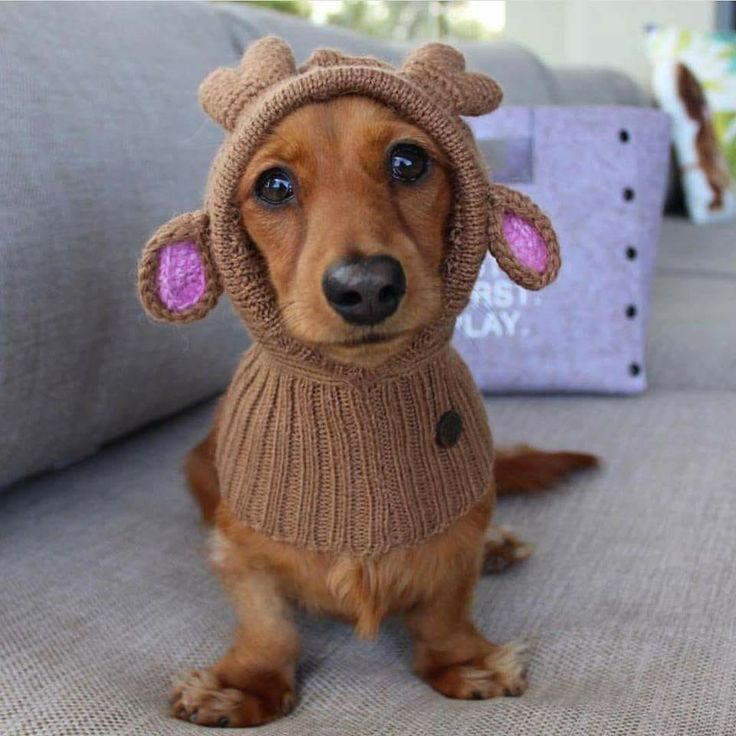 Dachshunds are the only dogs I know who can look cute even as they humor their human pet parents. Agree?