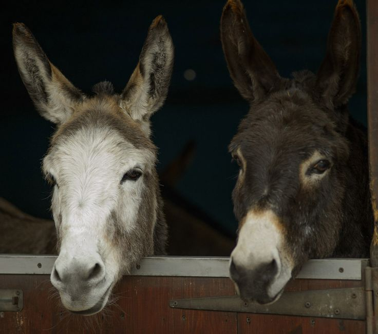 Give the gift of friendship, by adopting one of our adoption donkeys today.