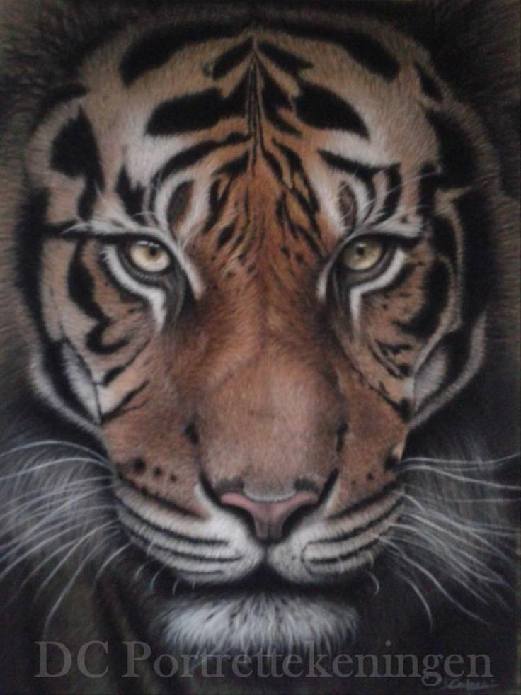 """""""Tiger"""" realistic portrait drawing made with pastelpencils"""