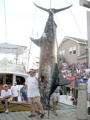 2011 Big Rock Blue Marlin Tournament - A ticket for fishing without a license cost this team their $1.2 million prize!! This Marlin weighted 883 lbs!