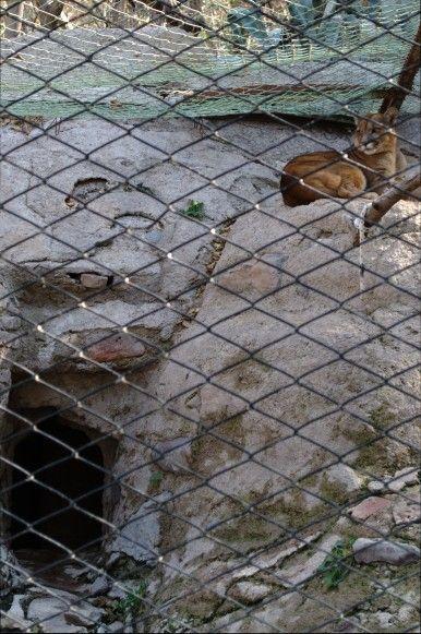Puma Zoologico de Mendoza