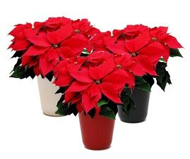 Poinsettias - just says Christmas, so ask us about the perfect one for you