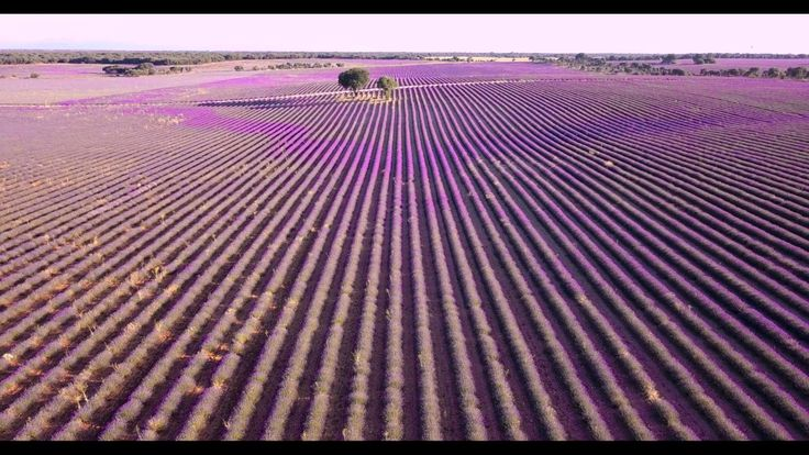 Campos de Lavanda a vista de Dron en #Brihuega
