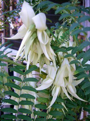 Rare White Lobster Claw - Clianthus puniceus