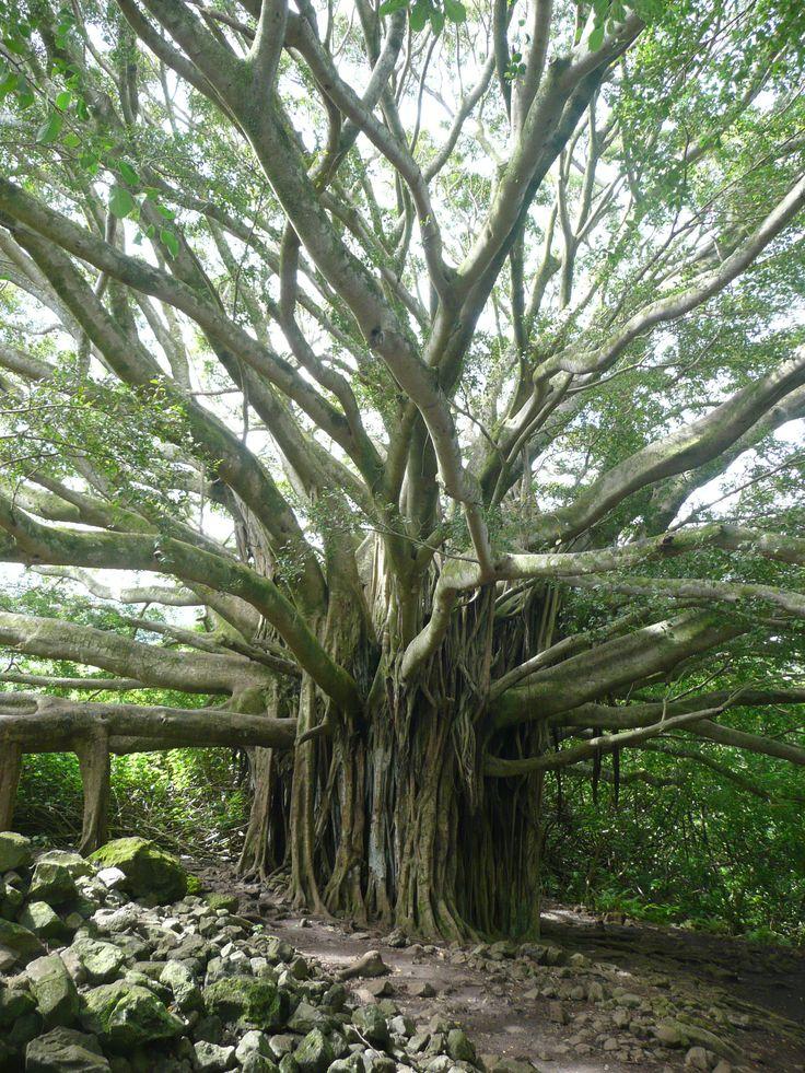 Banyon Tree, favorites in SW Florida