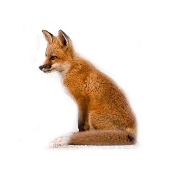 Косметика tianDe — «лиса,лисички,животные,рыжая лиса,» на... ❤ liked on Polyvore featuring animals, fox, pets and pictures