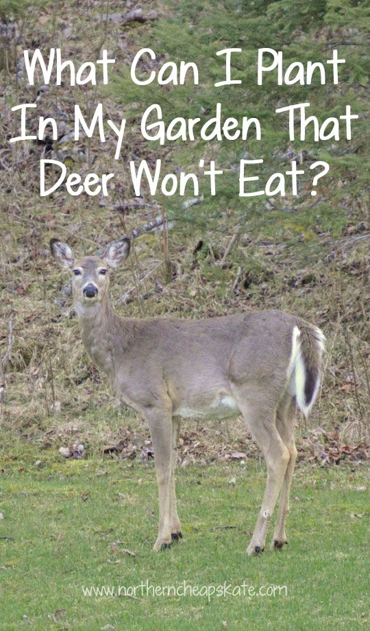 What Can I Plant In My Garden That Deer Won T Eat Deer