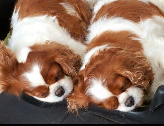 ...like two peas in a pod. Cavalier King Charles Spaniels