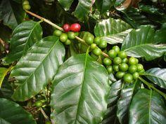 Conseils de culture et d'entretien d'un caféier en pot, en intérieur : quel substrat, arrosage, engrais, température...