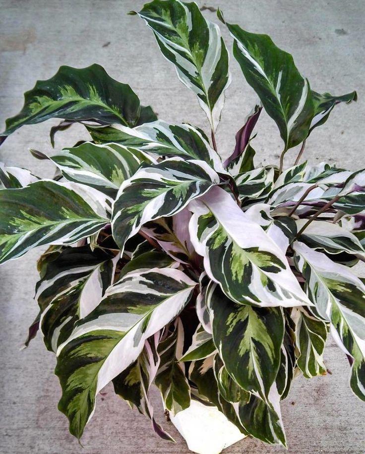 Calathea Fusion White - !!! Um bom substrato é uma mistura de uma parte de terra comum de jardim, duas de terra vegetal, uma de adubo orgânico e uma de areia.  É recomendado fazer adubações nas estações mais quentes, quando a planta está em pleno crescimento, com aplicações de pequenas quantidades de adubo de liberação lenta para deixar a planta mais forte.  Multiplica-se por divisão de touceiras na primavera. Dividir os tufos das plantas em porções com 3 caules, cada um com 2 a 3 folhas