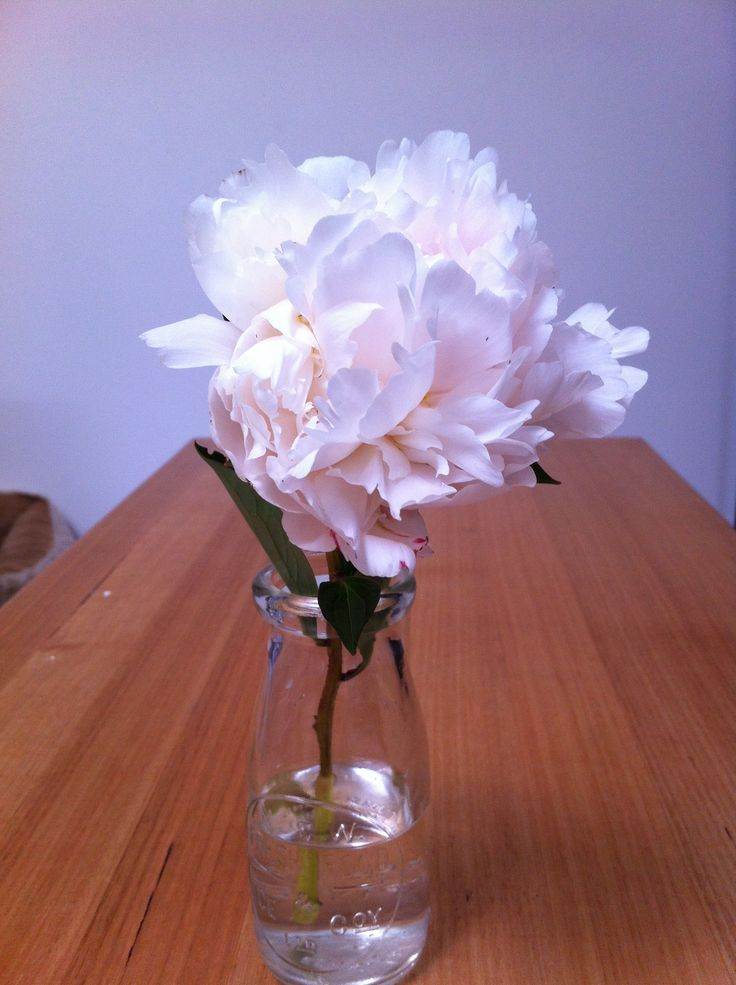 Peony Rose white with pink from my garden in Canberra