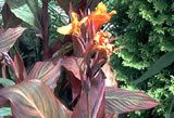 How to Store Canna Bulbs: Picture of orange cannas.