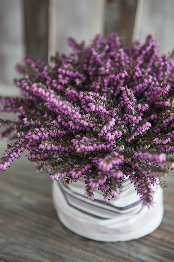 Vakker vårlyng i Grow-in selvvanningpotte: http://www.mestergronn.no/blogg/grow-in-potter-i-nye-farger/