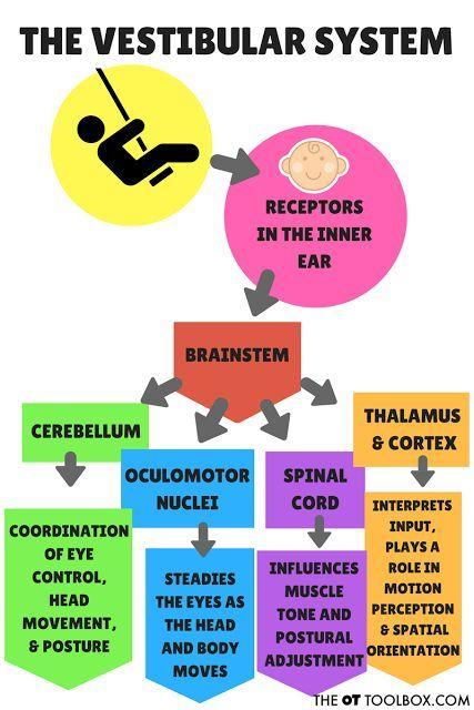 This graphic helps explain the vestibular sensory system and response to vestibular activities.