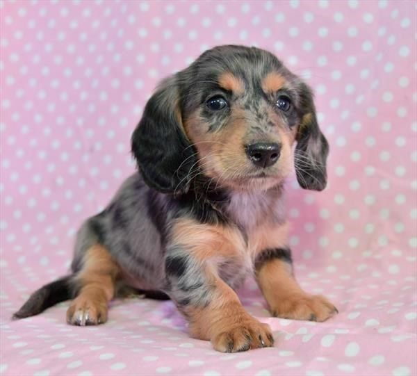 Puppies For Sale Petland In Overland Park Kansas City