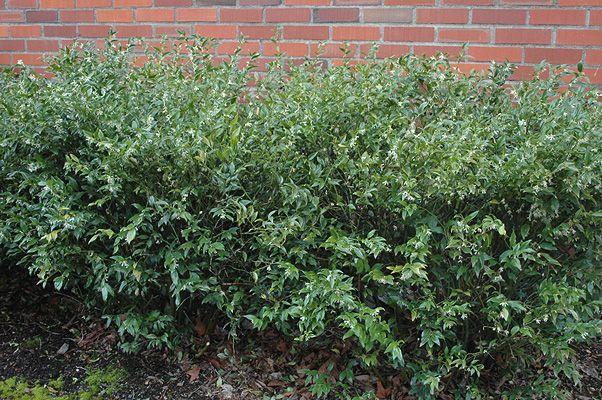 sweet box hedging 2
