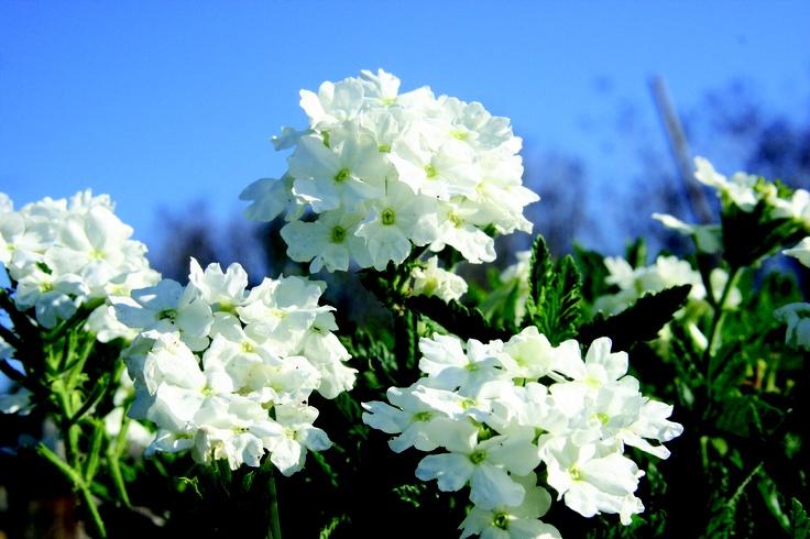 Superbeana 'Bushy White'  www.aussiewinners.com.au