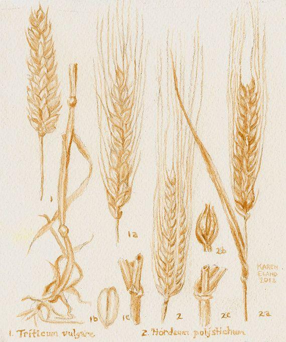 Barley and Wheat Botanical Drawing, painted using beer