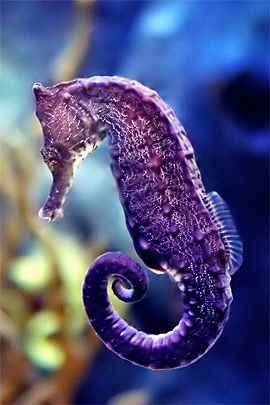 the seahorse is unlike any other creature.....purple seahorse