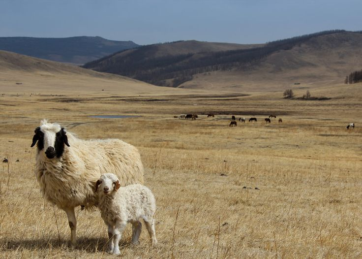 Travel Photo of the Day: The Curious 3 legged Sheep in Western Mongolia #Mongolia #Sheep #TravelPhoto #Landscapse