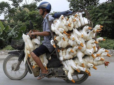 Gallery of Men On Motorcycles | man on motorcycle transporting ducks