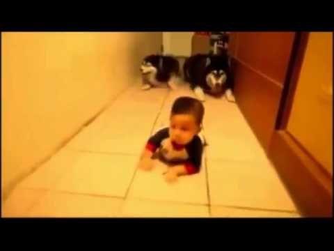 Due husky imitano un neonato che gattona