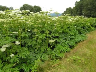 **Alert**  Giant hogweed is a human health hazard. ** Contact with sap in the presence of sunlight can cause skin blisters (contact dermatitis). -French Creek Giant Hogweed Project. Please read more on this by clicking the pic!
