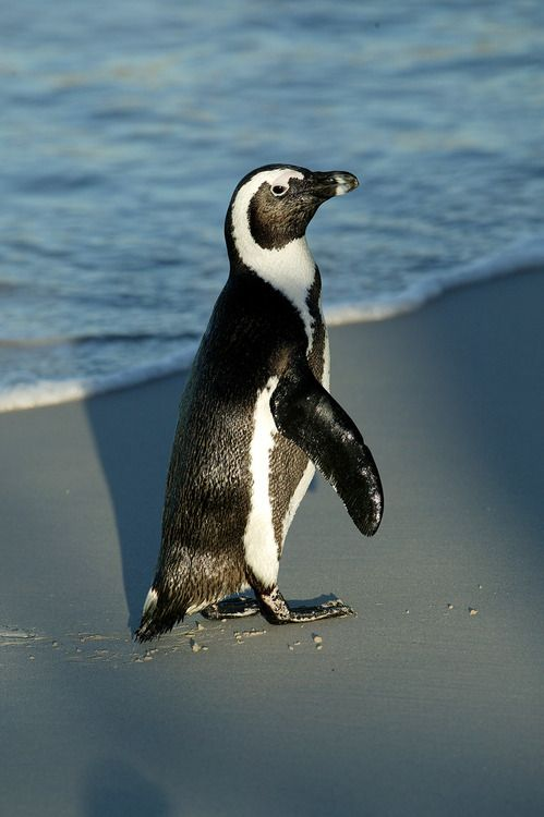essay related to african-american penguins birds