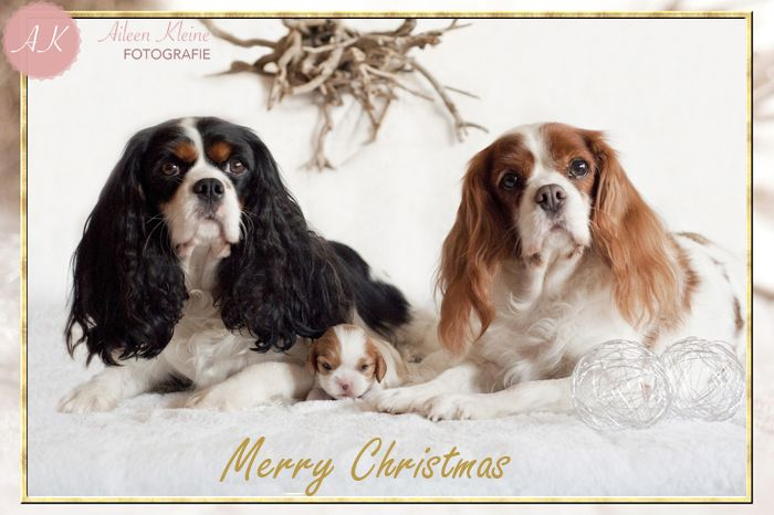 Merry Christmas  Cavalier king charles spaniel  kerst hond  - Christmas dog