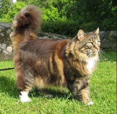 Norwegian Forest Cat:   The Norwegian Forest Cat is a large, muscular cat whose looks are deceiving this cat is very agile and strong making it a natural hunter.