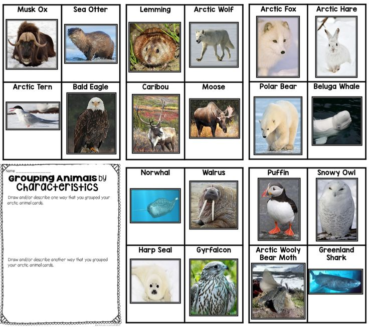 Classroom Grouping Ideas ~ Arctic animal cards great for sorting and classifying