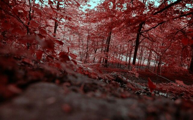 Red forest chernobyl