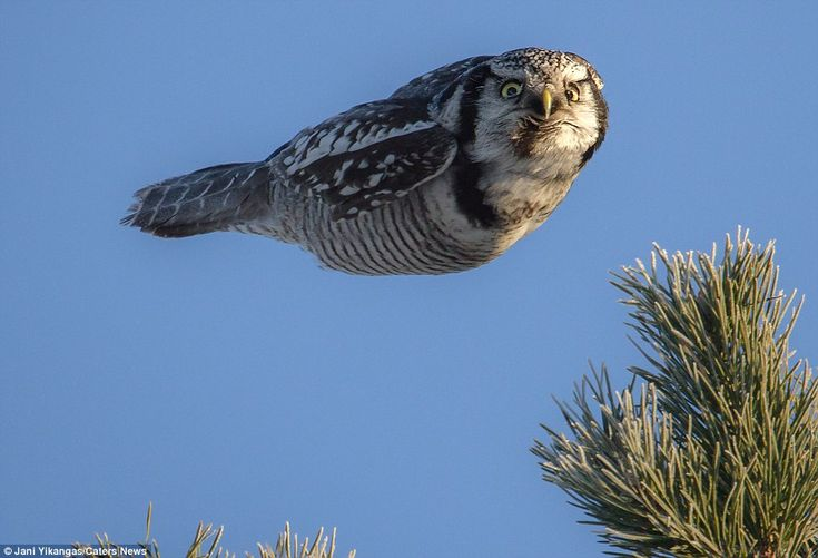 While out hunting, it helps to keep a low profile. And with wings clamped to its side in full flight – and with a wide-eyed stare – this northern hawk owl is a model of stealth.