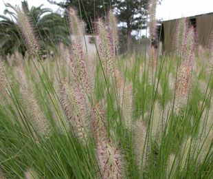 NAFRAY® is a compact drought tolerant Pennisetum | Ornamental Native Australian Grass approx 60cm round. Non invasive.